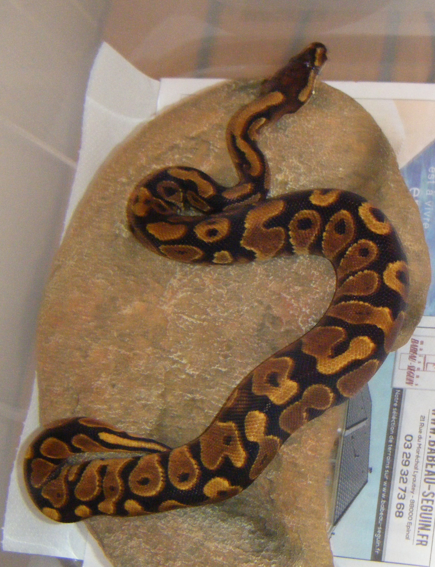 Yellow-belly_m_2013-001